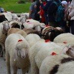 Schaflschoade – Das war der Almabtrieb der Schafe in Finkenberg 2017